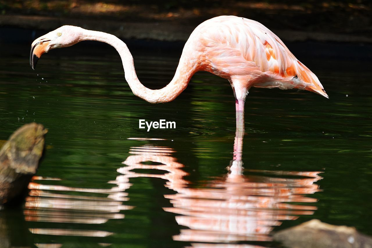Close-Up Of Flamingo Standing In Water