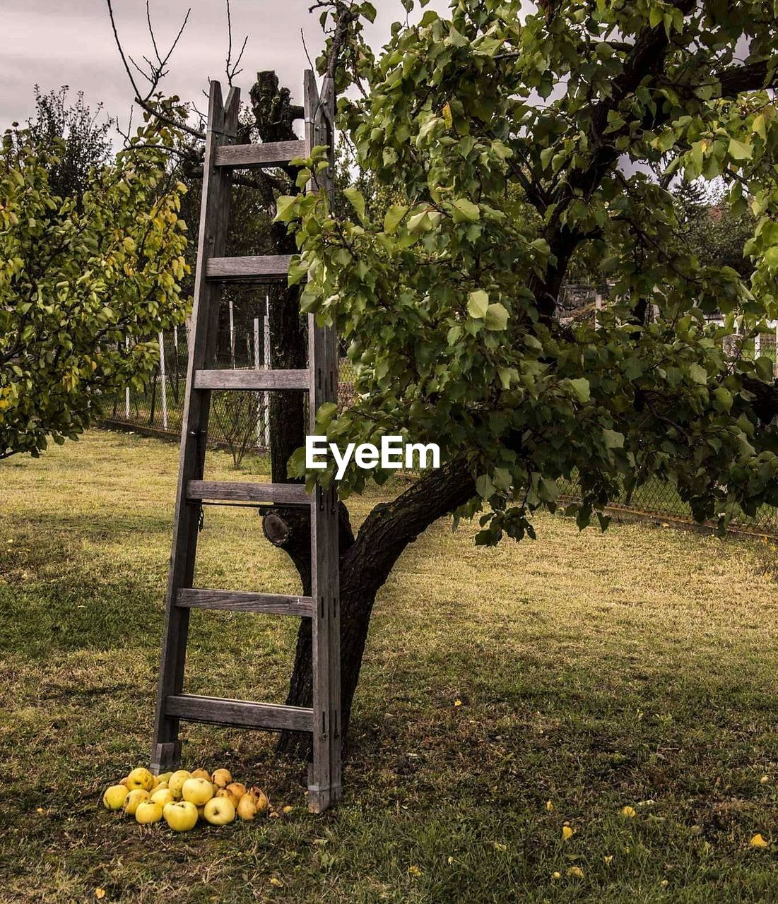 plant, tree, nature, day, fruit, grass, food, food and drink, growth, no people, healthy eating, freshness, outdoors, citrus fruit, fruit tree, green color, architecture, field, built structure, lemon, ladder, orange