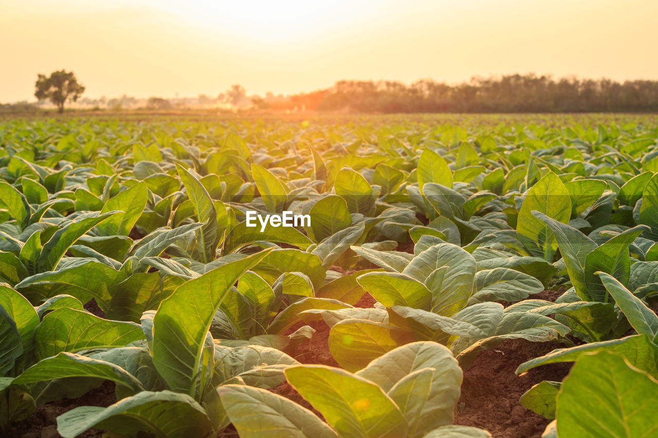 growth, field, plant, land, agriculture, leaf, plant part, nature, sky, landscape, beauty in nature, rural scene, green color, sunset, crop, no people, farm, sunlight, environment, tranquility, outdoors, lens flare, sunflower, plantation