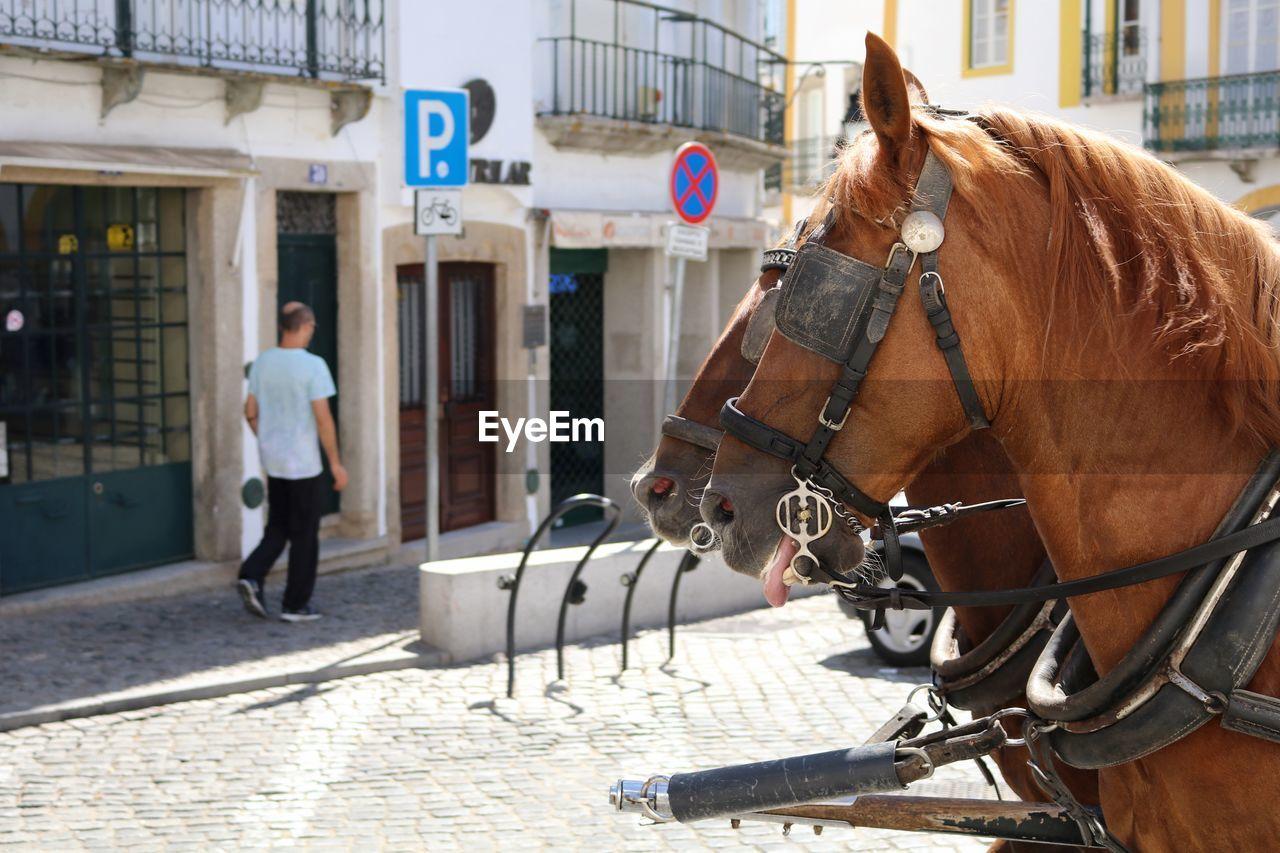 Horses on city street by man walking on sidewalk