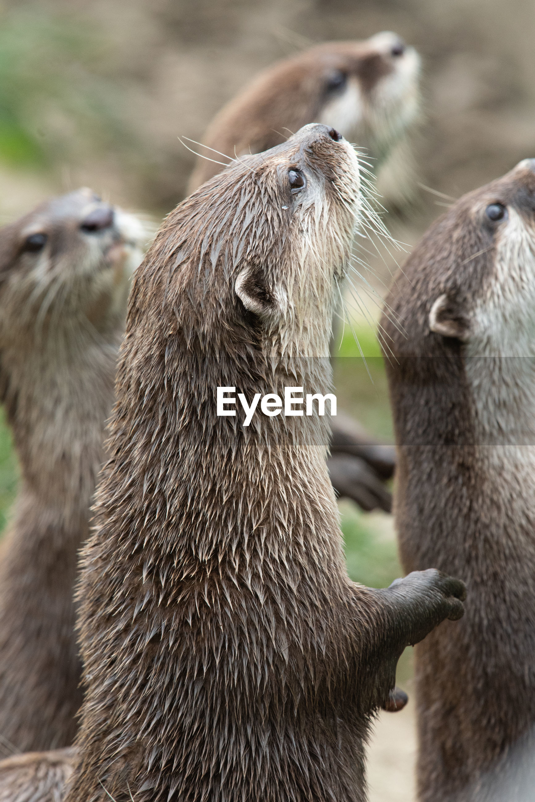 Portrait of an asian small clawed otter standing up
