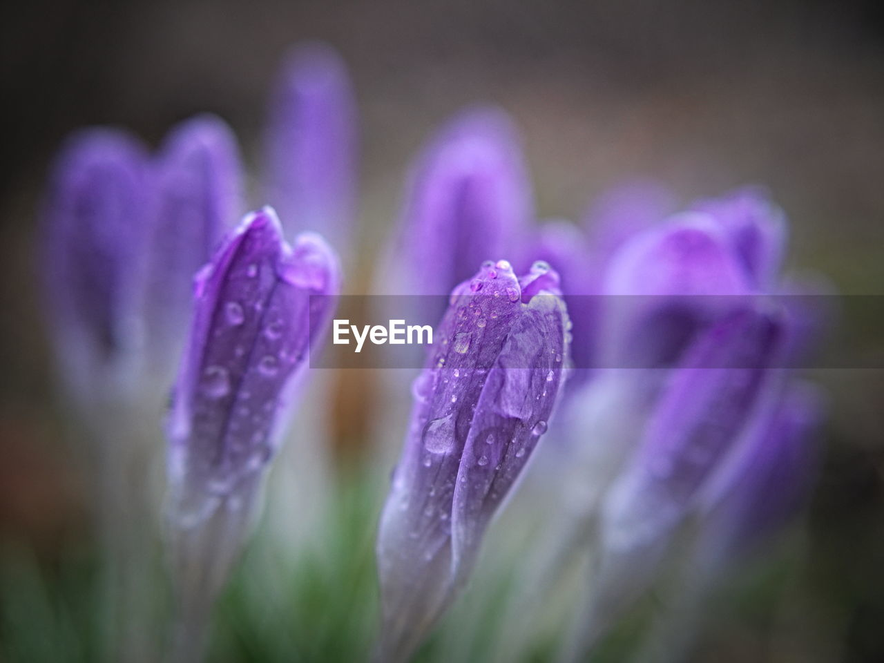 purple, flower, nature, beauty in nature, growth, drop, petal, no people, fragility, plant, blooming, close-up, freshness, outdoors, flower head, water, day