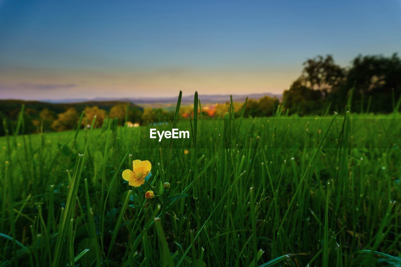 growth, nature, field, grass, beauty in nature, green color, flower, plant, freshness, outdoors, no people, tranquility, yellow, sky, sunset, landscape, day, fragility, close-up, flower head