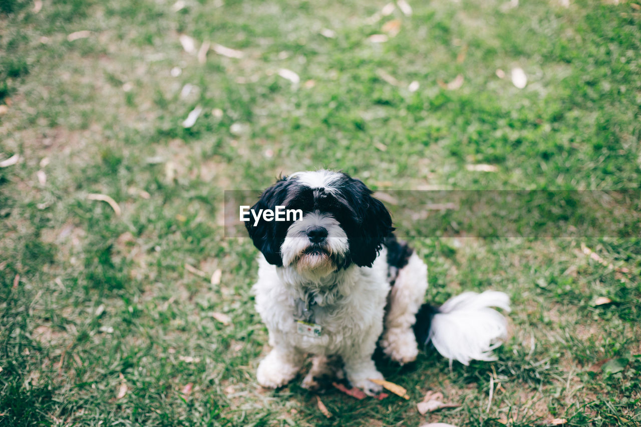 one animal, mammal, animal themes, pets, domestic, animal, dog, domestic animals, canine, vertebrate, land, field, no people, portrait, grass, plant, nature, young animal, looking at camera, day, small, shih tzu