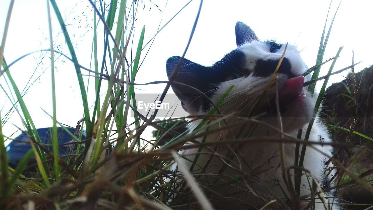 animal themes, one animal, grass, domestic animals, pets, mammal, domestic cat, no people, day, outdoors, feline, close-up, nature, sky