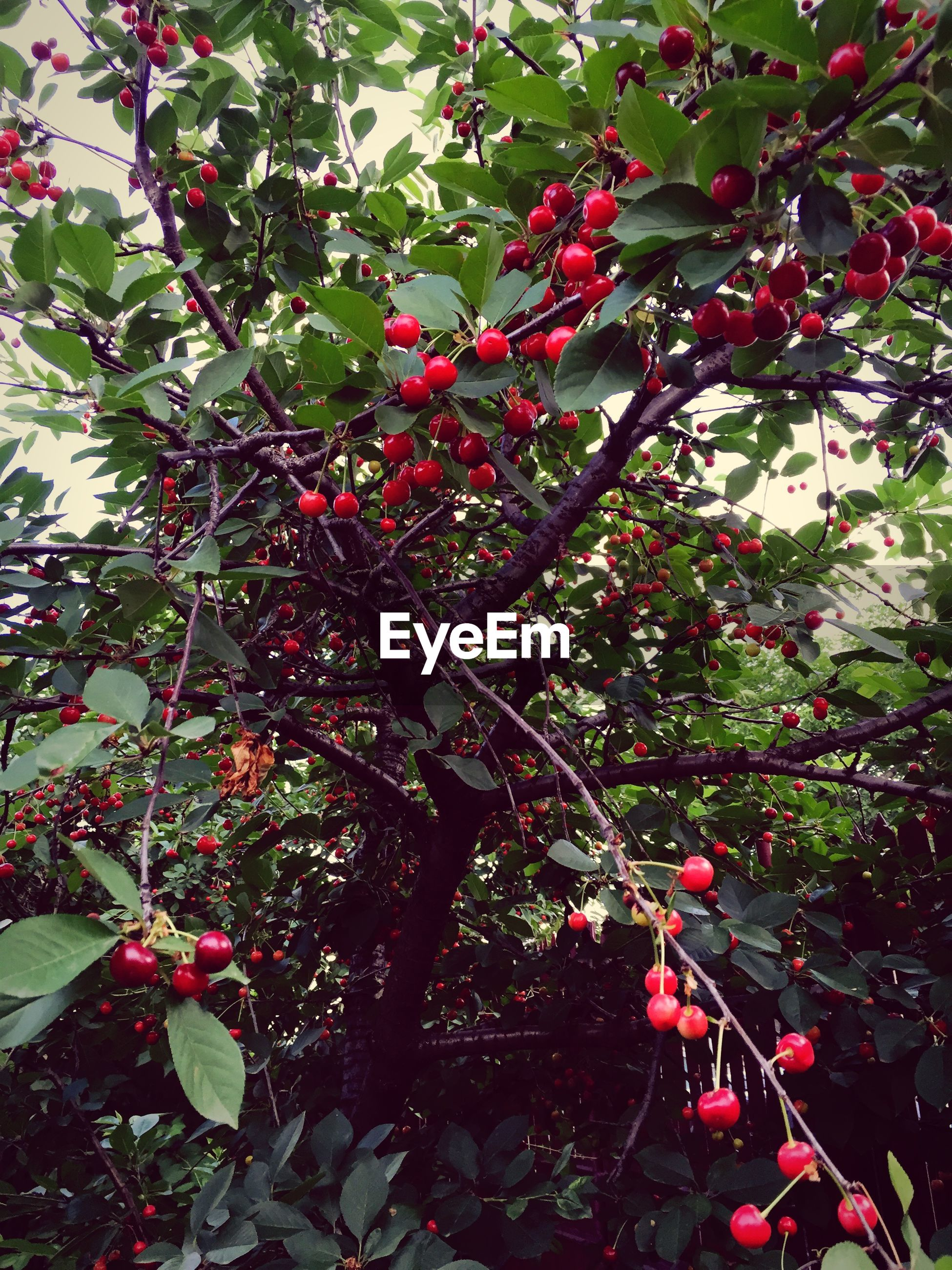 Low angle view of cherries growing on tree