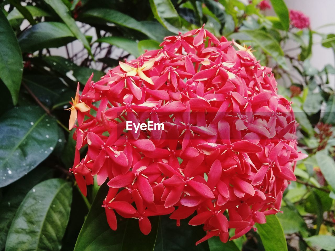 beauty in nature, growth, nature, ixora, petal, fragility, flower, freshness, red, flower head, leaf, day, blooming, plant, close-up, outdoors, focus on foreground, no people