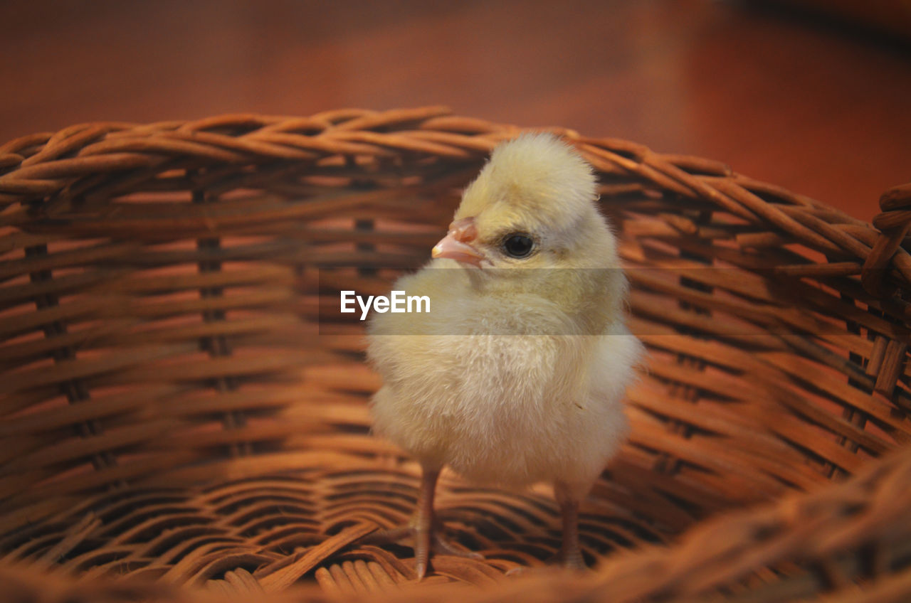 High Angle View Of Chick In Basket