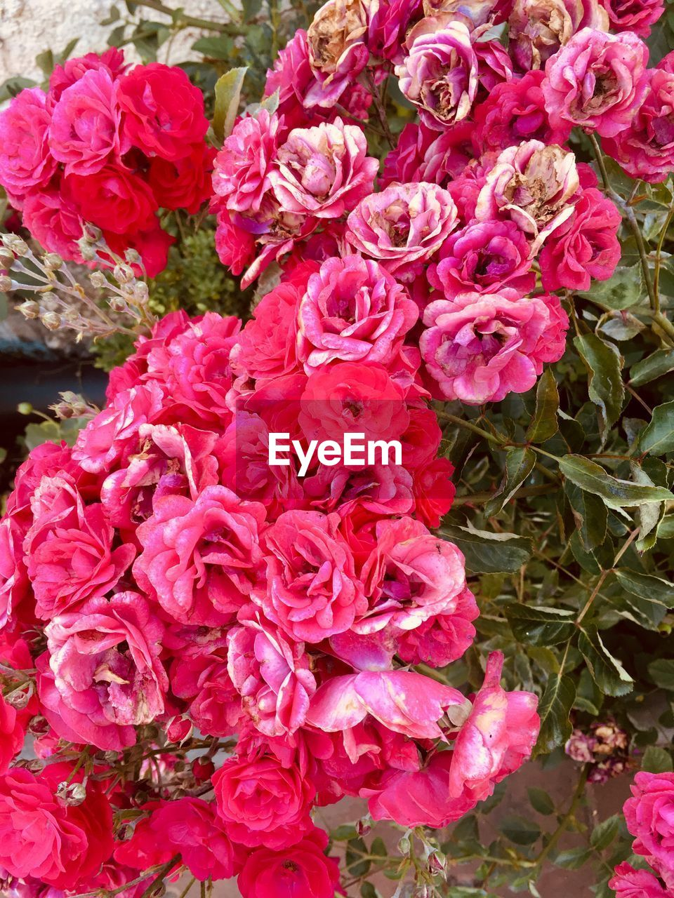 flowering plant, flower, beauty in nature, plant, fragility, vulnerability, freshness, petal, pink color, close-up, flower head, inflorescence, rose, nature, rose - flower, no people, high angle view, day, flower arrangement, bouquet, bunch of flowers, outdoors, springtime