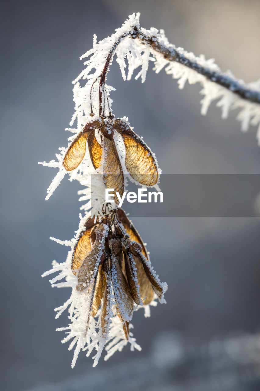 close-up, winter, snow, cold temperature, focus on foreground, frozen, no people, nature, ice, fragility, beauty in nature, plant, vulnerability, frost, day, outdoors, selective focus, dry, twig, softness, wilted plant