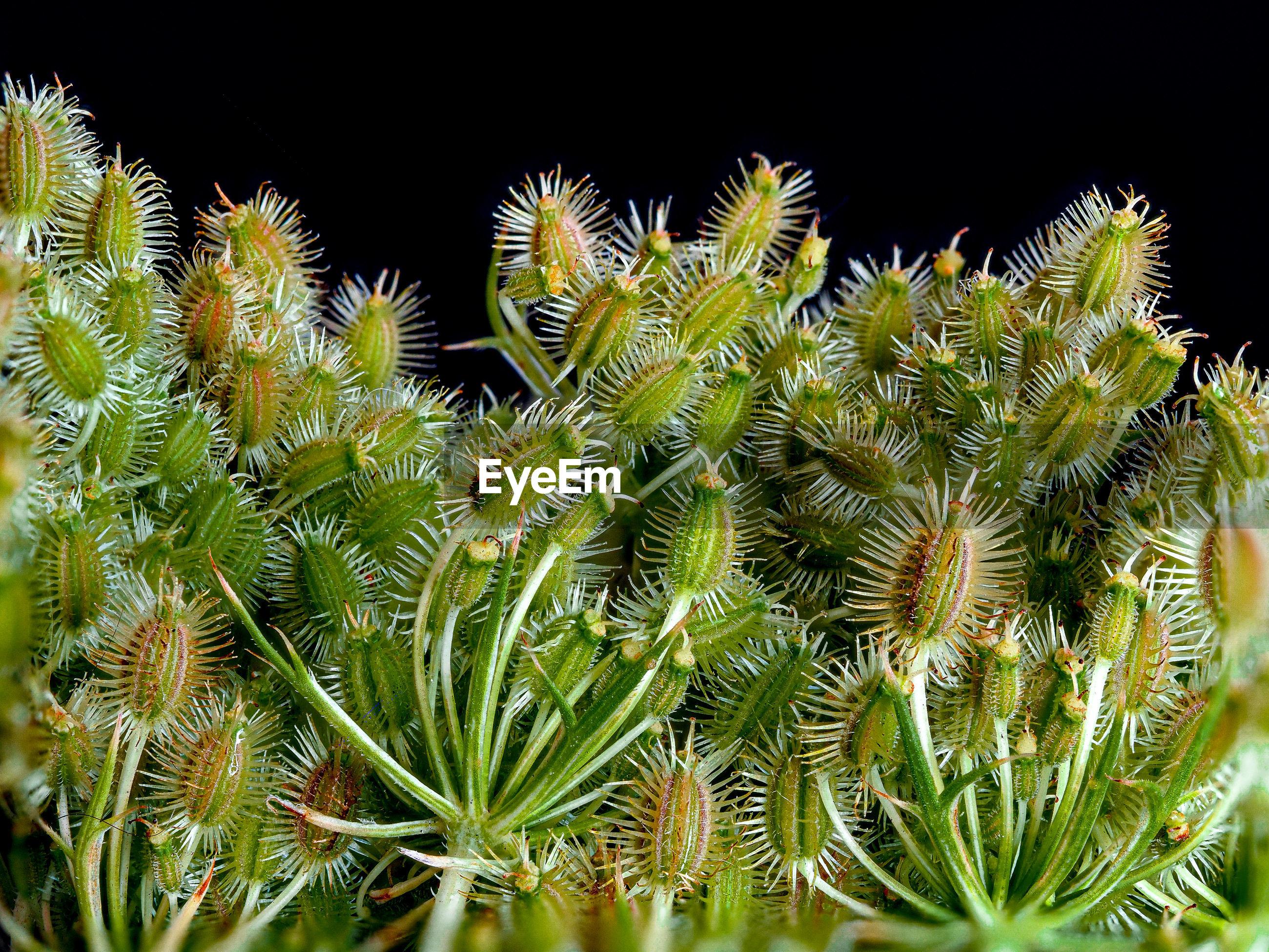 Close-up of plant daucus carota