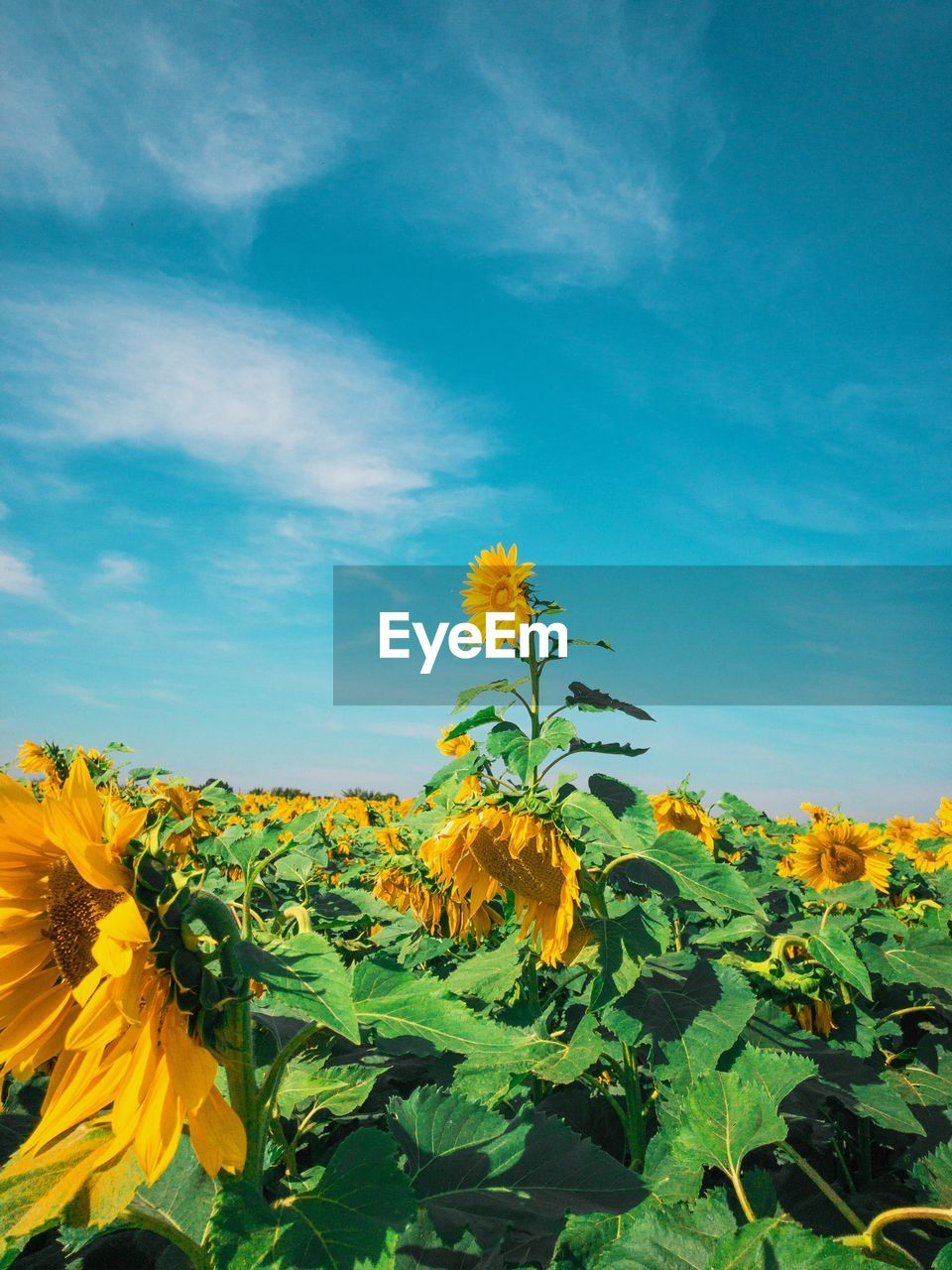 flower, yellow, flowering plant, plant, beauty in nature, growth, fragility, sky, vulnerability, freshness, petal, flower head, nature, sunflower, close-up, inflorescence, plant part, leaf, no people, day, outdoors, sepal, flowerbed
