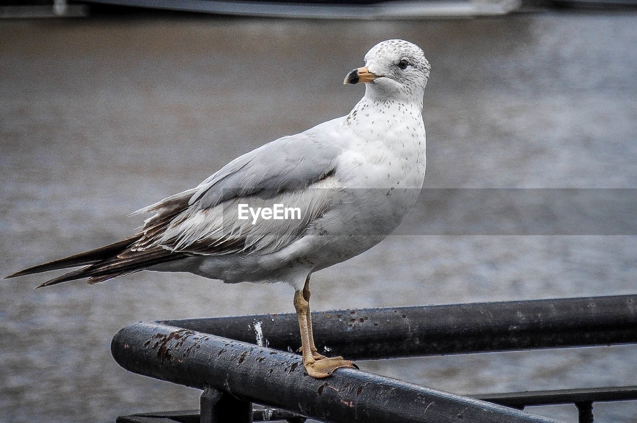 Seagull perching on railing by river