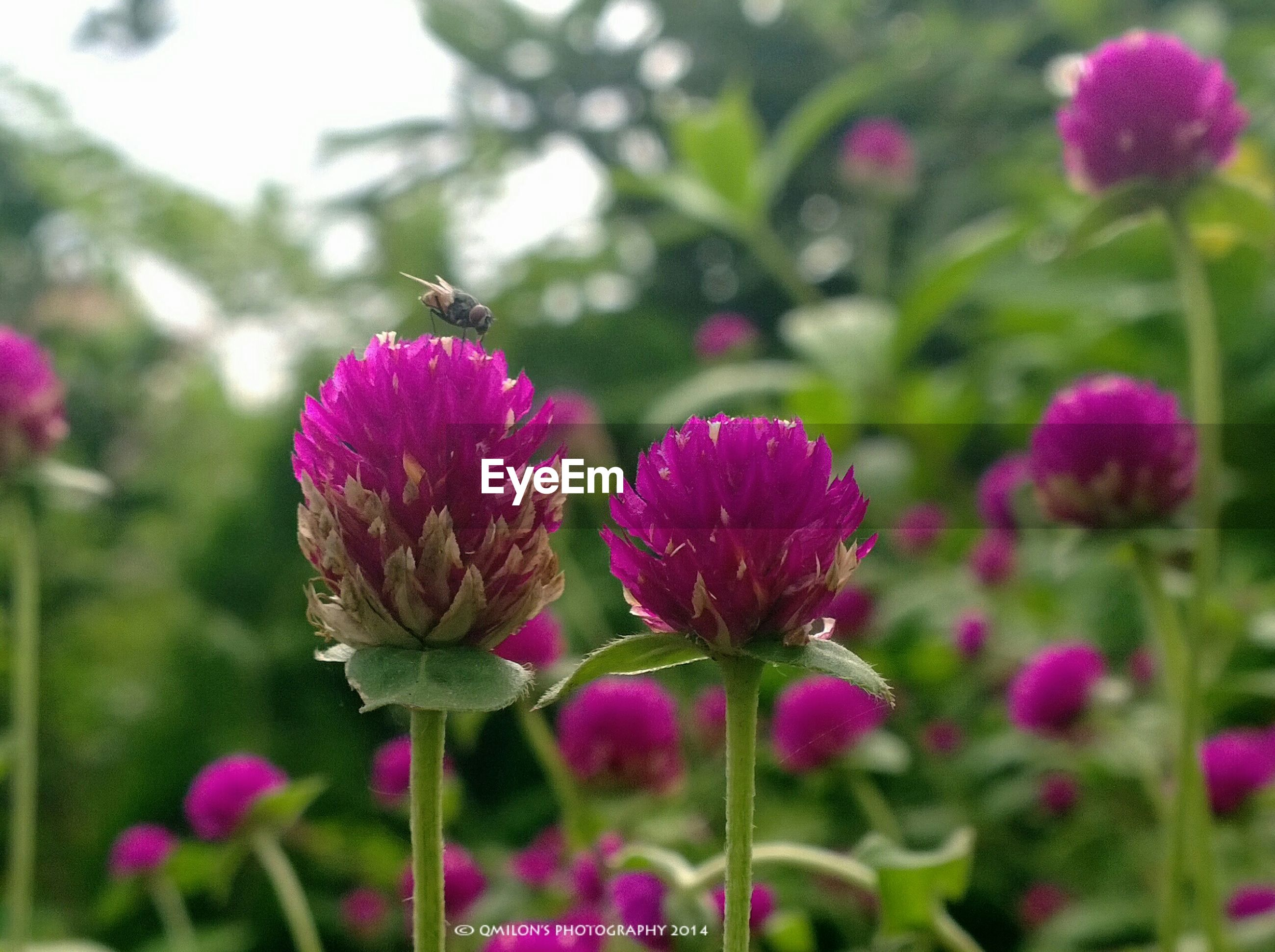 flower, freshness, growth, fragility, focus on foreground, pink color, beauty in nature, close-up, petal, plant, flower head, nature, stem, blooming, purple, bud, selective focus, in bloom, outdoors, day