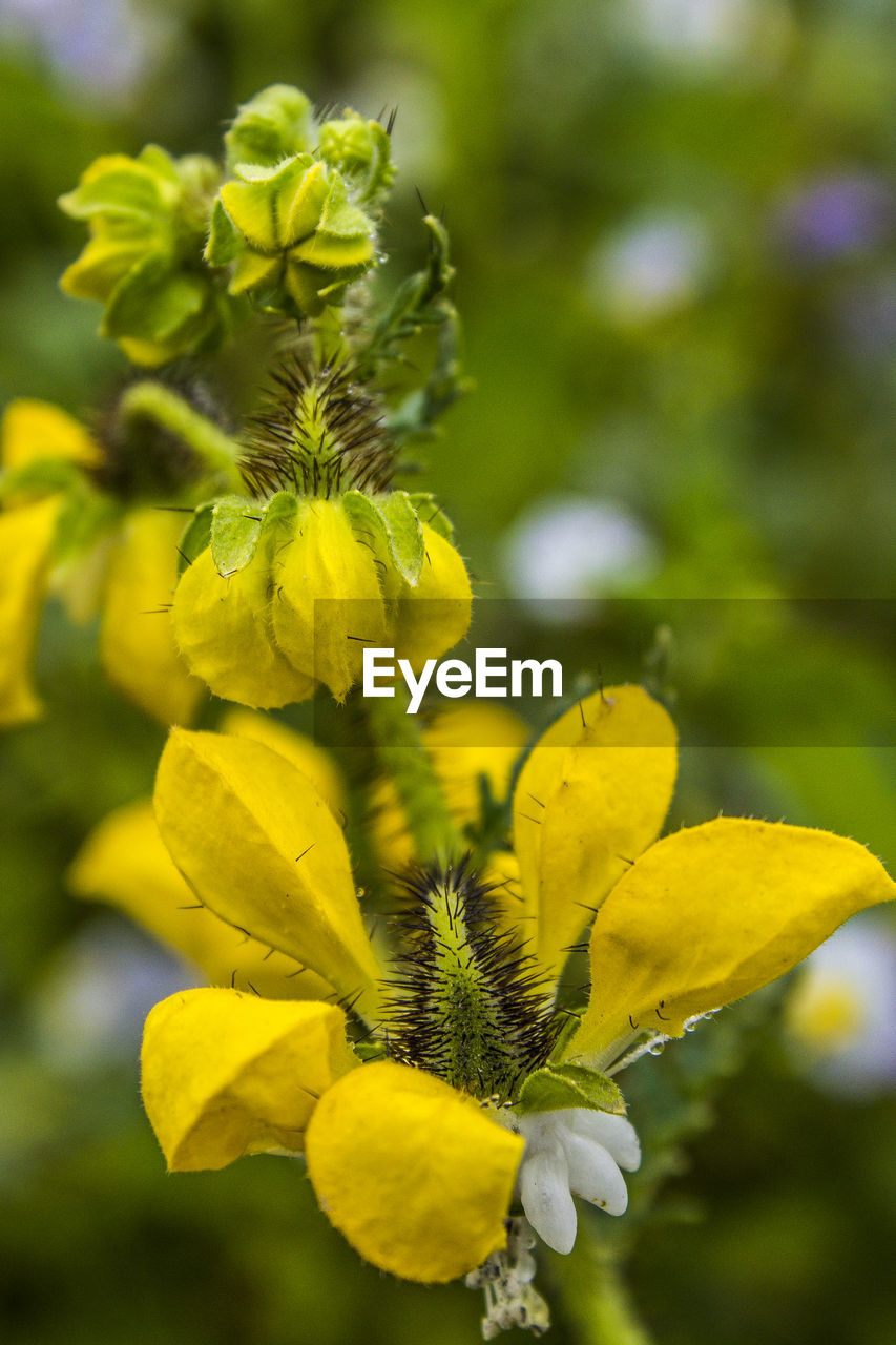 yellow, plant, flowering plant, flower, growth, beauty in nature, vulnerability, freshness, fragility, close-up, focus on foreground, day, petal, flower head, inflorescence, nature, no people, outdoors, plant stem, selective focus, springtime