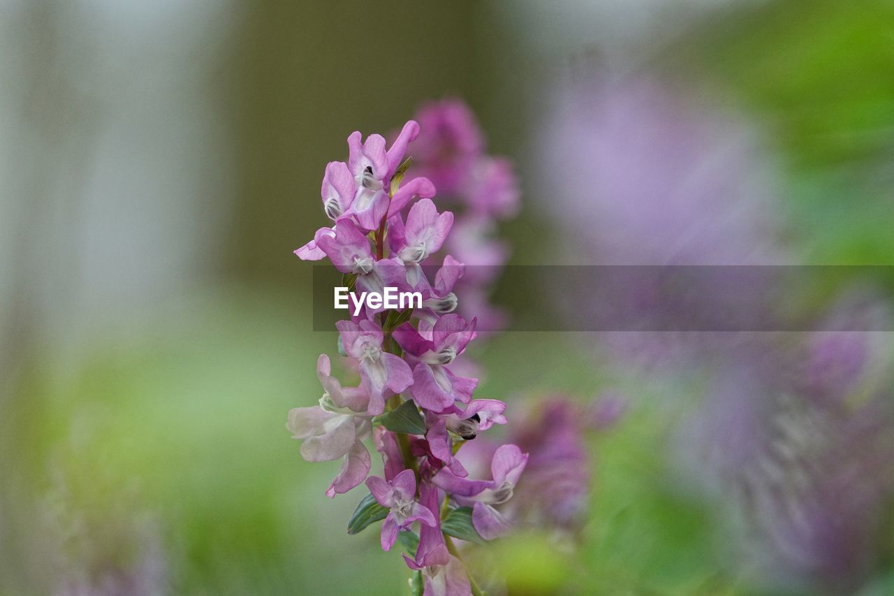 flower, nature, fragility, pink color, beauty in nature, growth, freshness, petal, no people, selective focus, day, close-up, focus on foreground, plant, outdoors, flower head, blooming