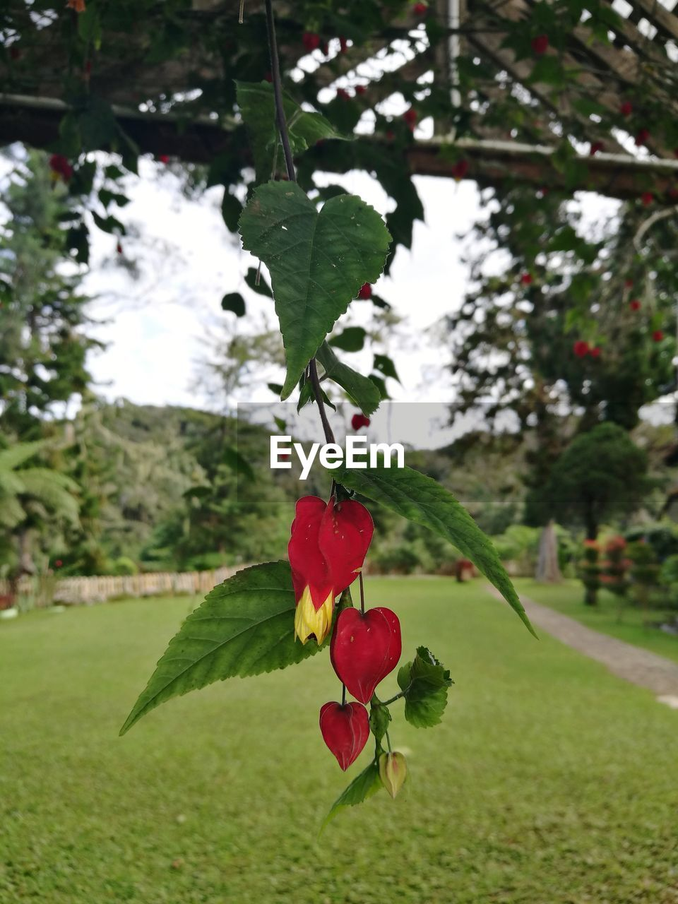 red, growth, tree, fruit, nature, leaf, focus on foreground, green color, beauty in nature, close-up, outdoors, no people, plant, freshness, day, food and drink, branch