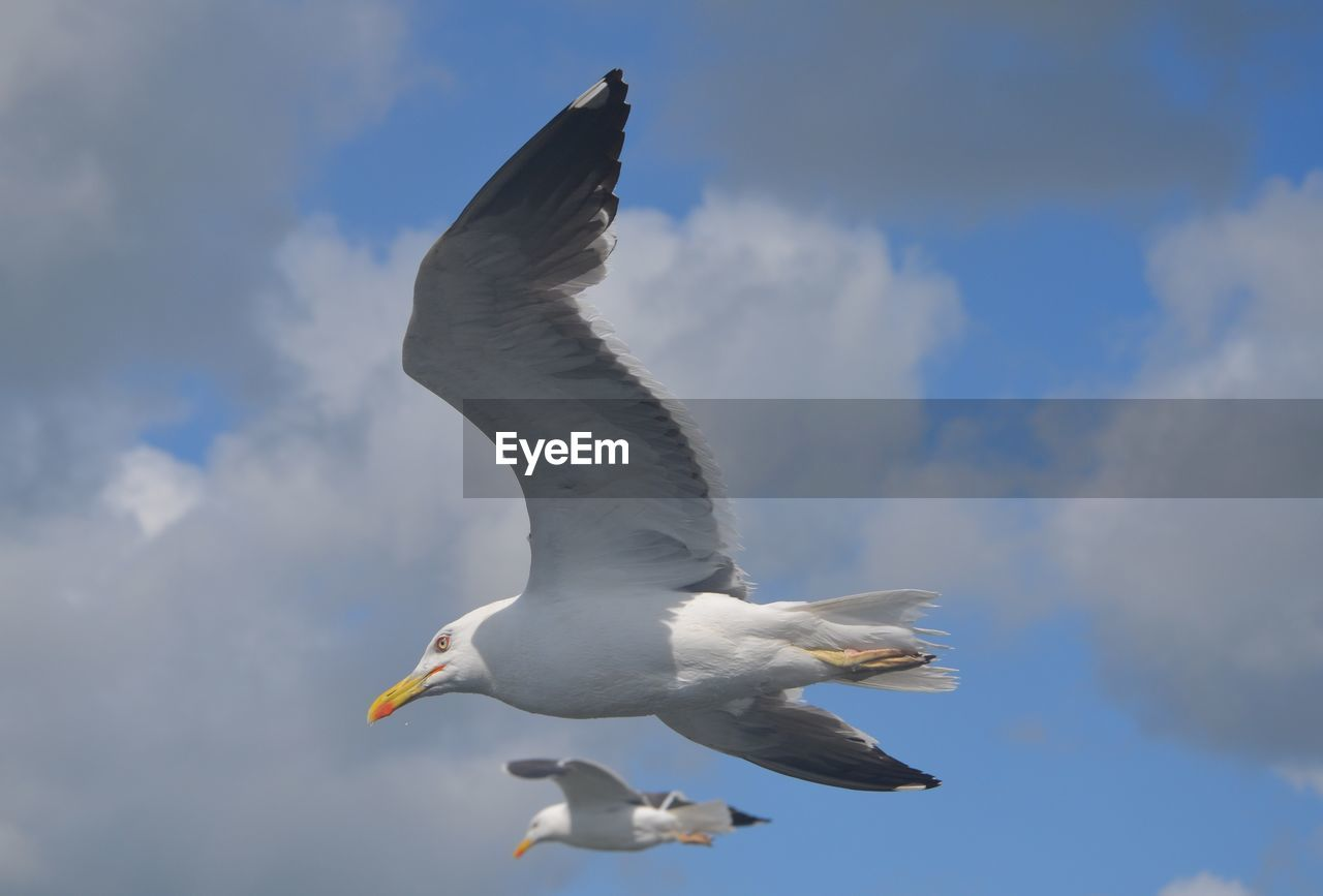 animals in the wild, bird, animal wildlife, spread wings, animal themes, animal, vertebrate, flying, cloud - sky, sky, mid-air, seagull, white color, motion, no people, low angle view, nature, day, one animal, outdoors, flapping