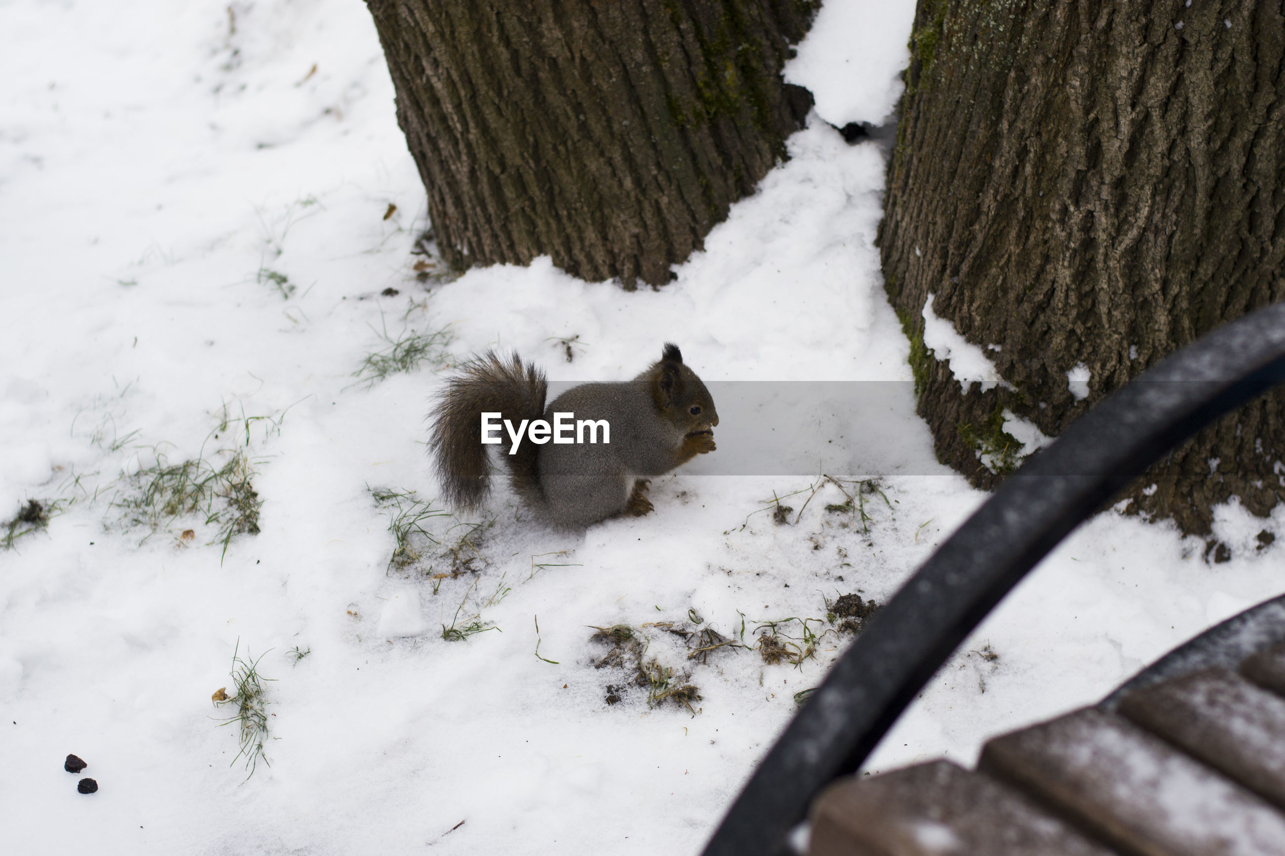 High angle view of squirrel on snow covered field