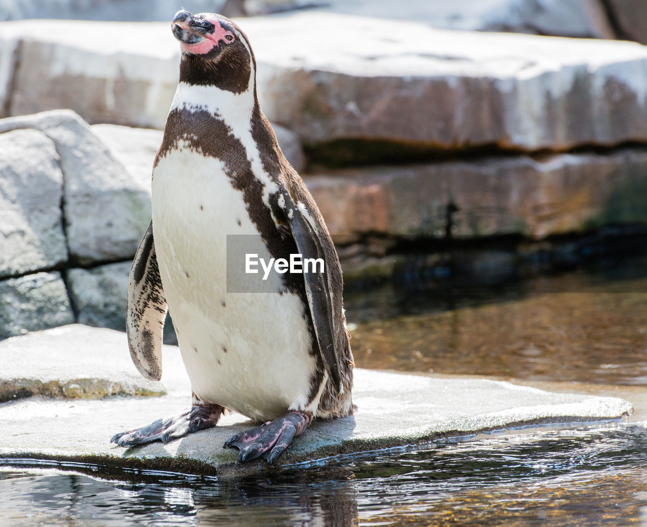 CLOSE-UP OF PENGUIN PERCHING ON ROCK BY LAKE