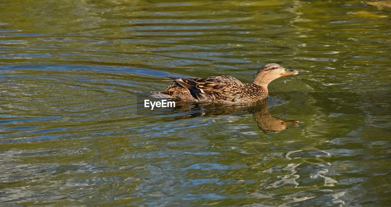 High Angle View Of Female Mallard Duck Swimming On Lake