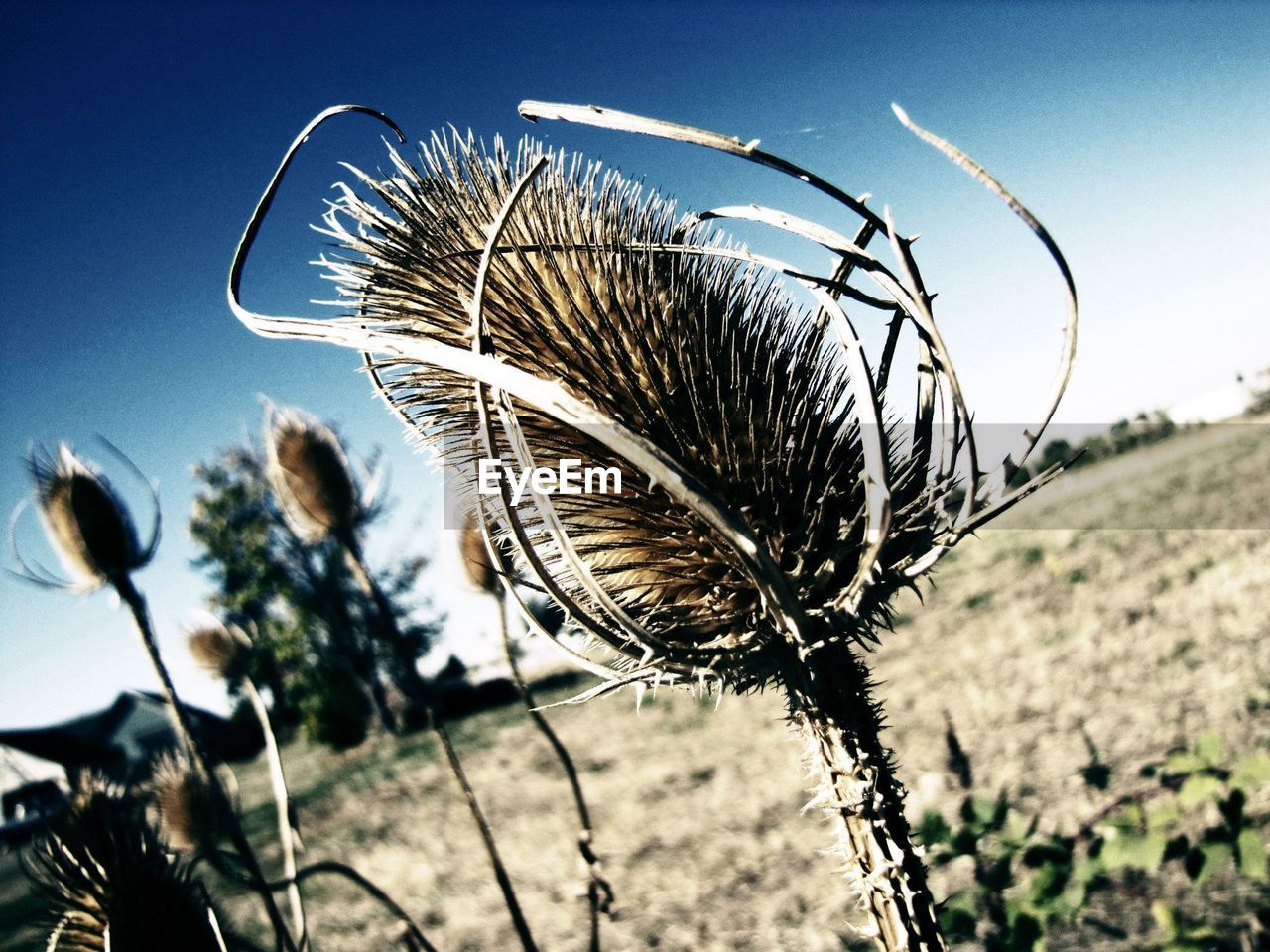 Close up of dried thistle
