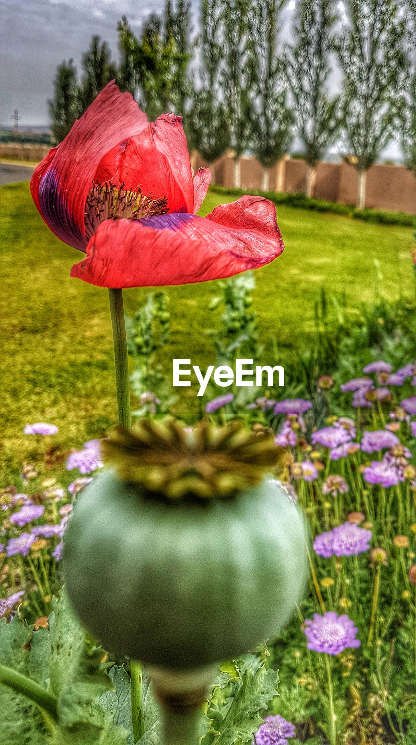 CLOSE-UP OF POPPY FLOWERS