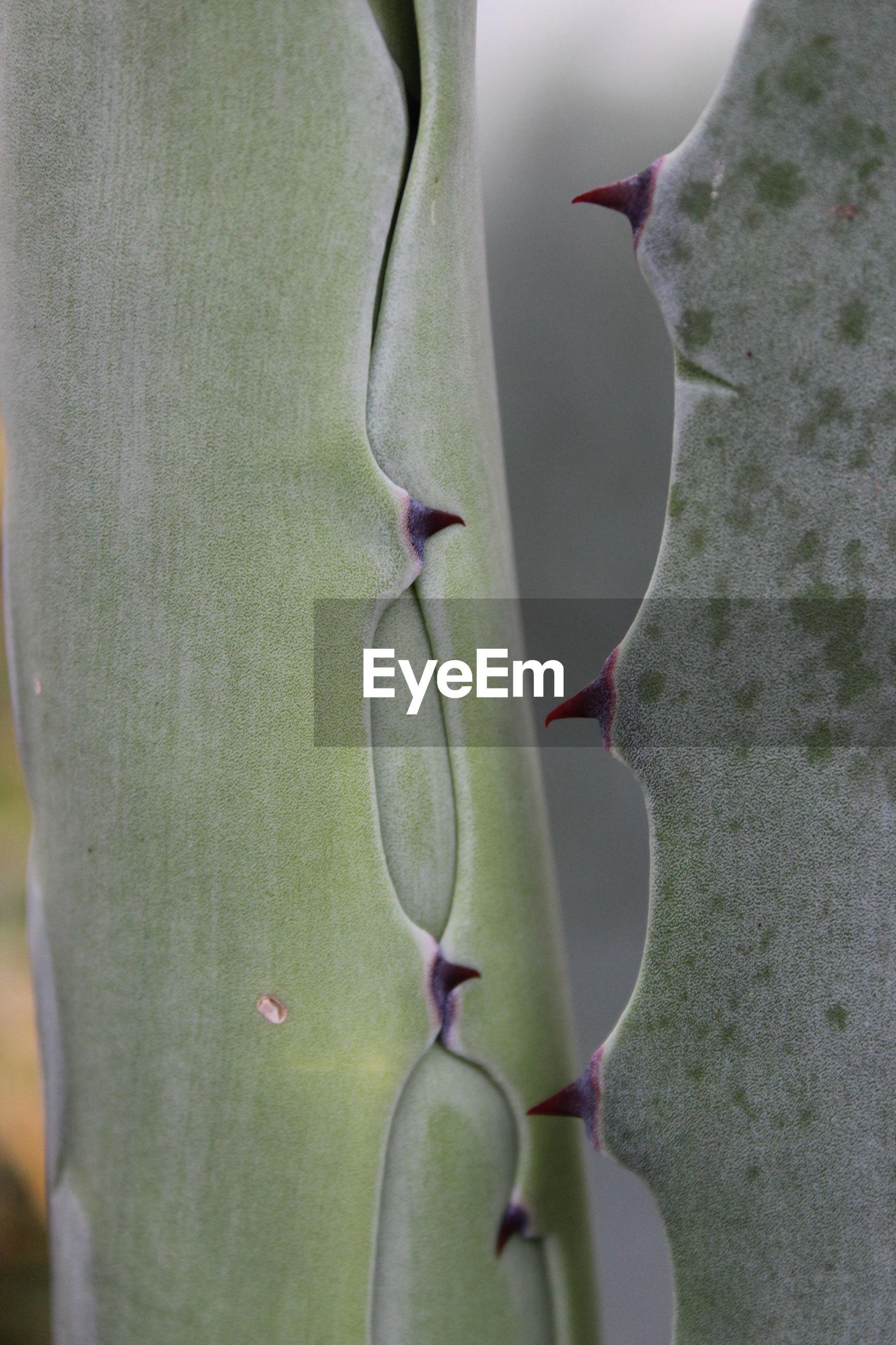 CLOSE-UP OF SUCCULENT PLANT ON CACTUS