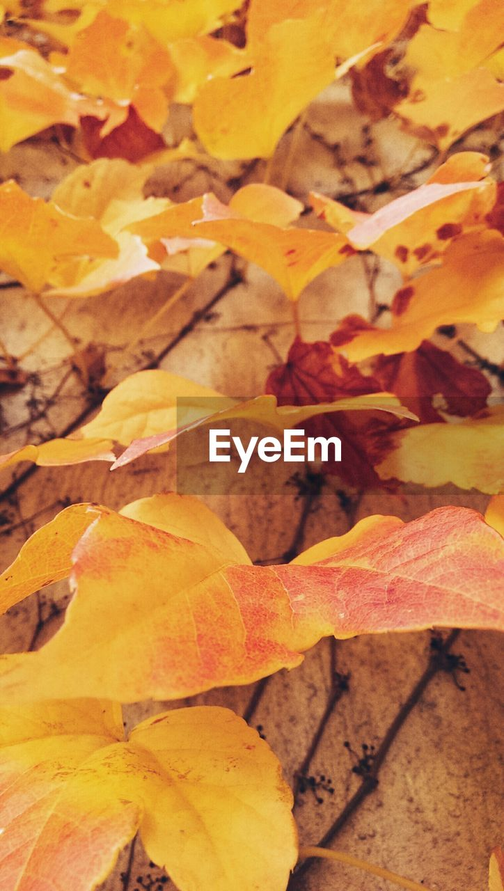 leaf, autumn, change, nature, leaves, dry, maple leaf, yellow, no people, day, outdoors, close-up, maple, beauty in nature, fragility, freshness