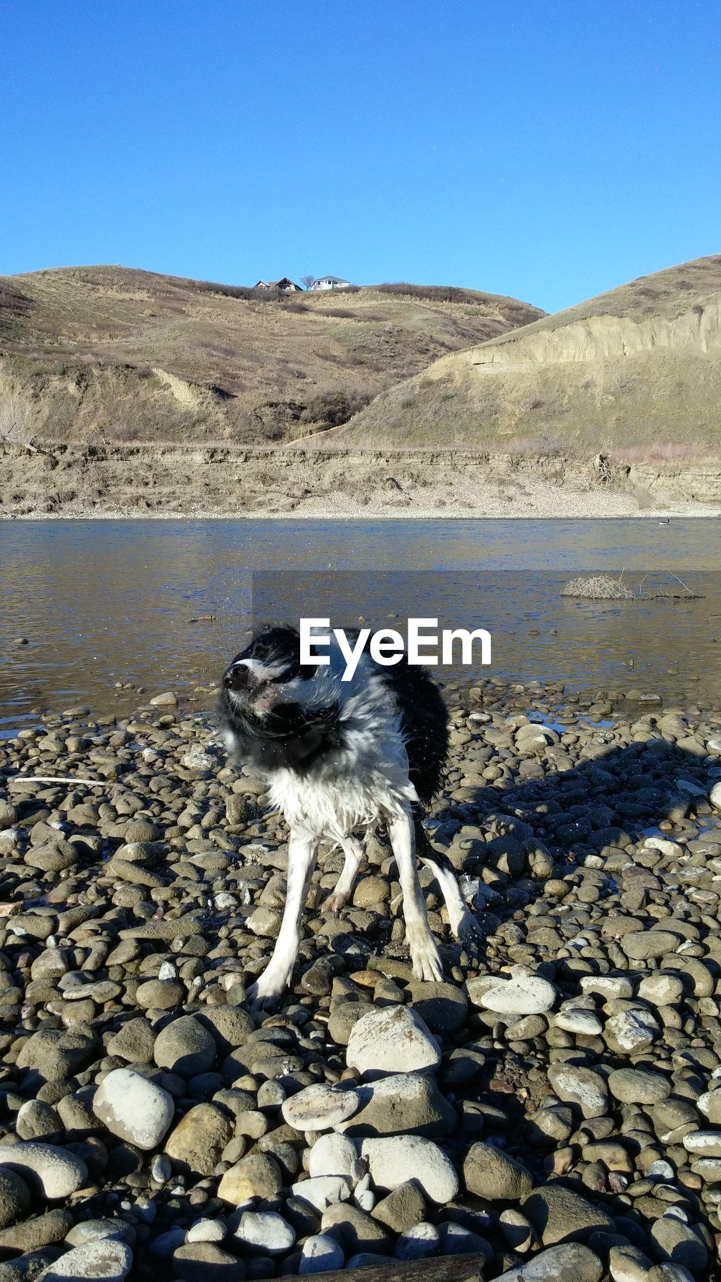 Dog shaking off on shore