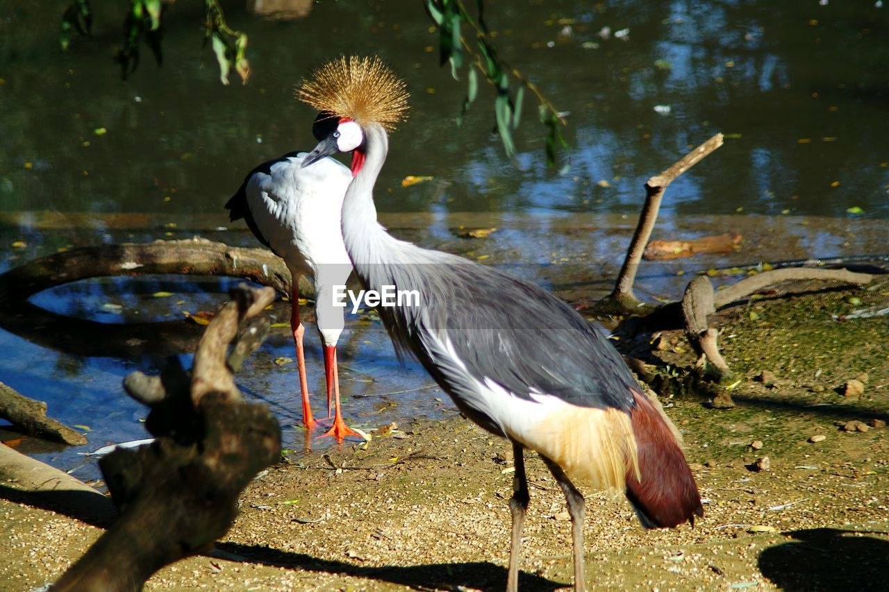 Grey crowned crane on field by lake