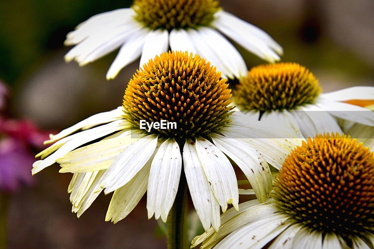 flower, coneflower, flowering plant, fragility, vulnerability, freshness, petal, inflorescence, close-up, flower head, beauty in nature, growth, plant, pollen, focus on foreground, yellow, no people, day, nature, white color, outdoors