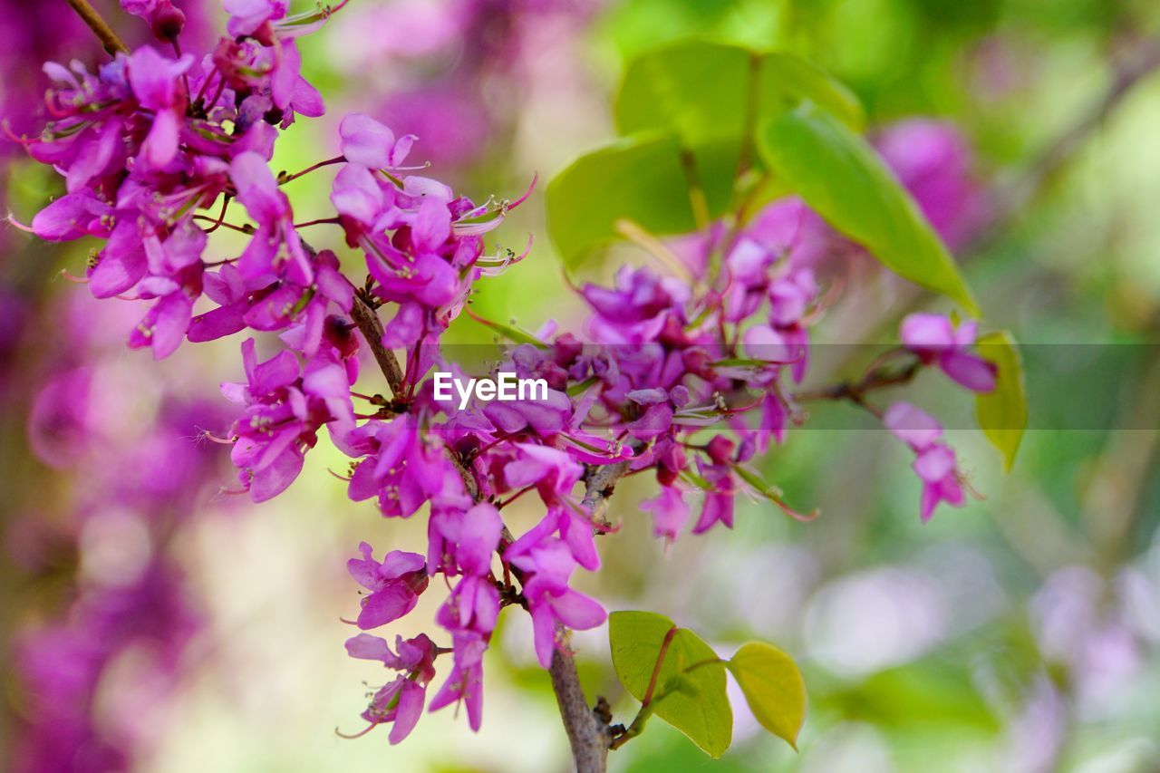 flower, flowering plant, plant, beauty in nature, growth, freshness, fragility, vulnerability, close-up, pink color, purple, selective focus, no people, nature, day, blossom, petal, lilac, botany, outdoors, springtime, flower head, bunch of flowers, spring