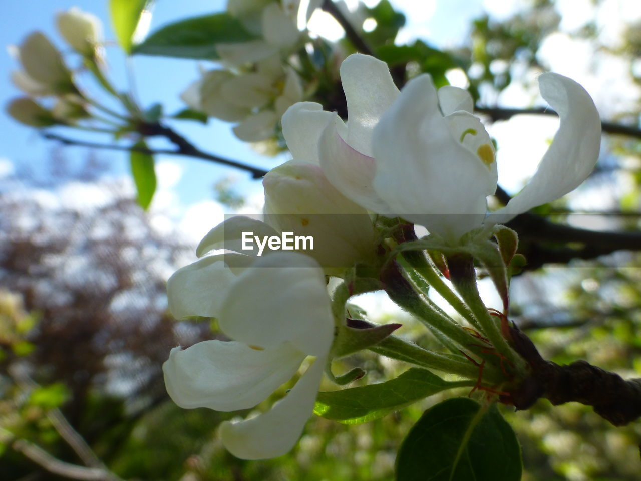 flower, beauty in nature, fragility, growth, nature, blossom, petal, tree, springtime, white color, freshness, branch, botany, apple blossom, flower head, magnolia, day, twig, no people, close-up, orchard, low angle view, stamen, selective focus, outdoors, blooming, pink color, plant, plum blossom