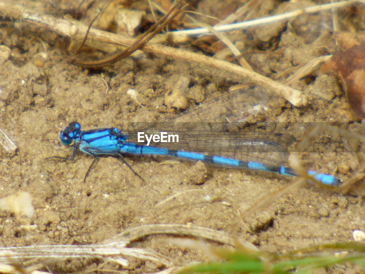 animal themes, insect, one animal, animals in the wild, blue, damselfly, no people, day, animal wildlife, nature, close-up, outdoors