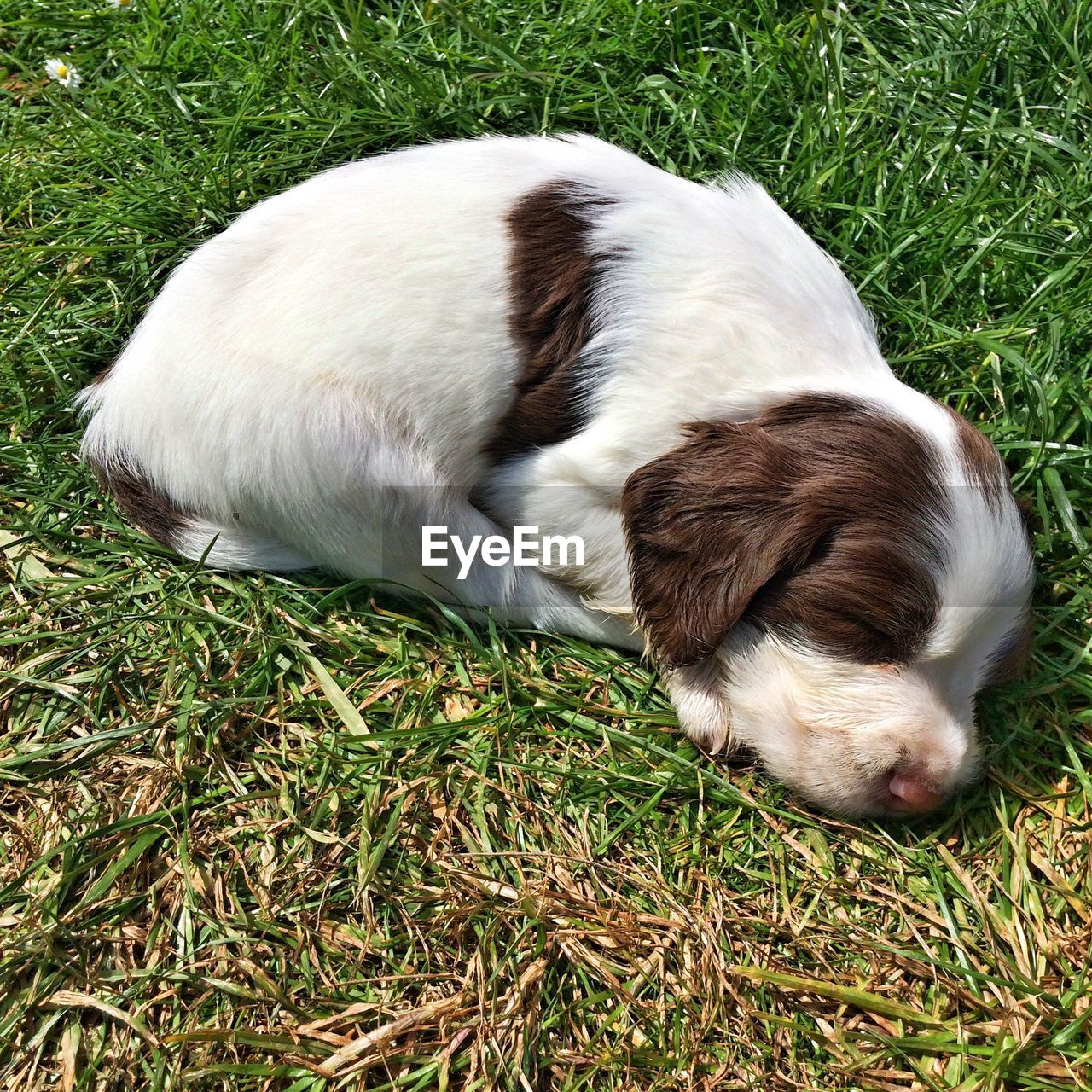 pets, domestic, one animal, domestic animals, animal themes, mammal, animal, grass, vertebrate, plant, dog, canine, field, relaxation, nature, high angle view, land, green color, no people, sleeping, shih tzu