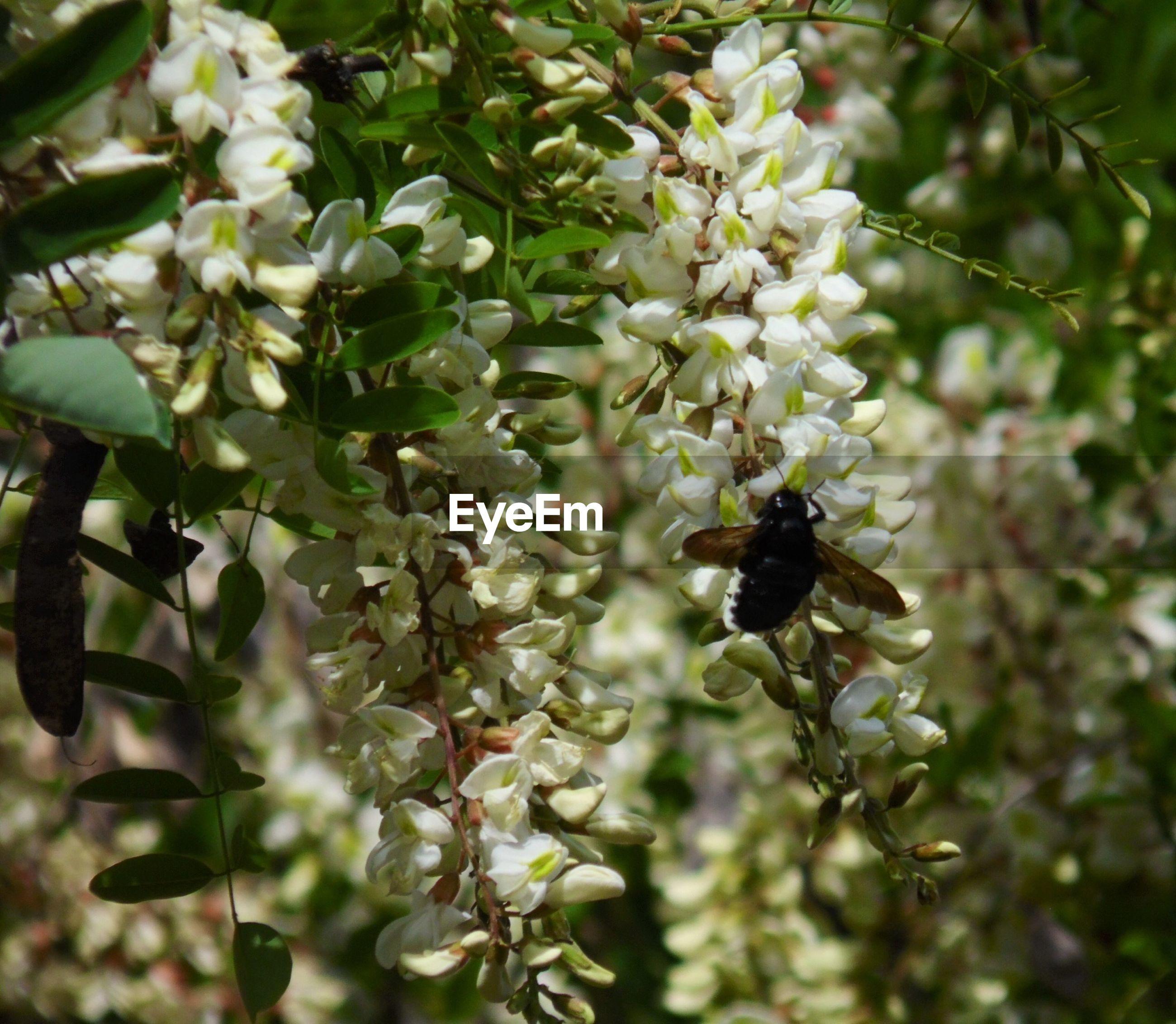 Honey bee pollinating flowers