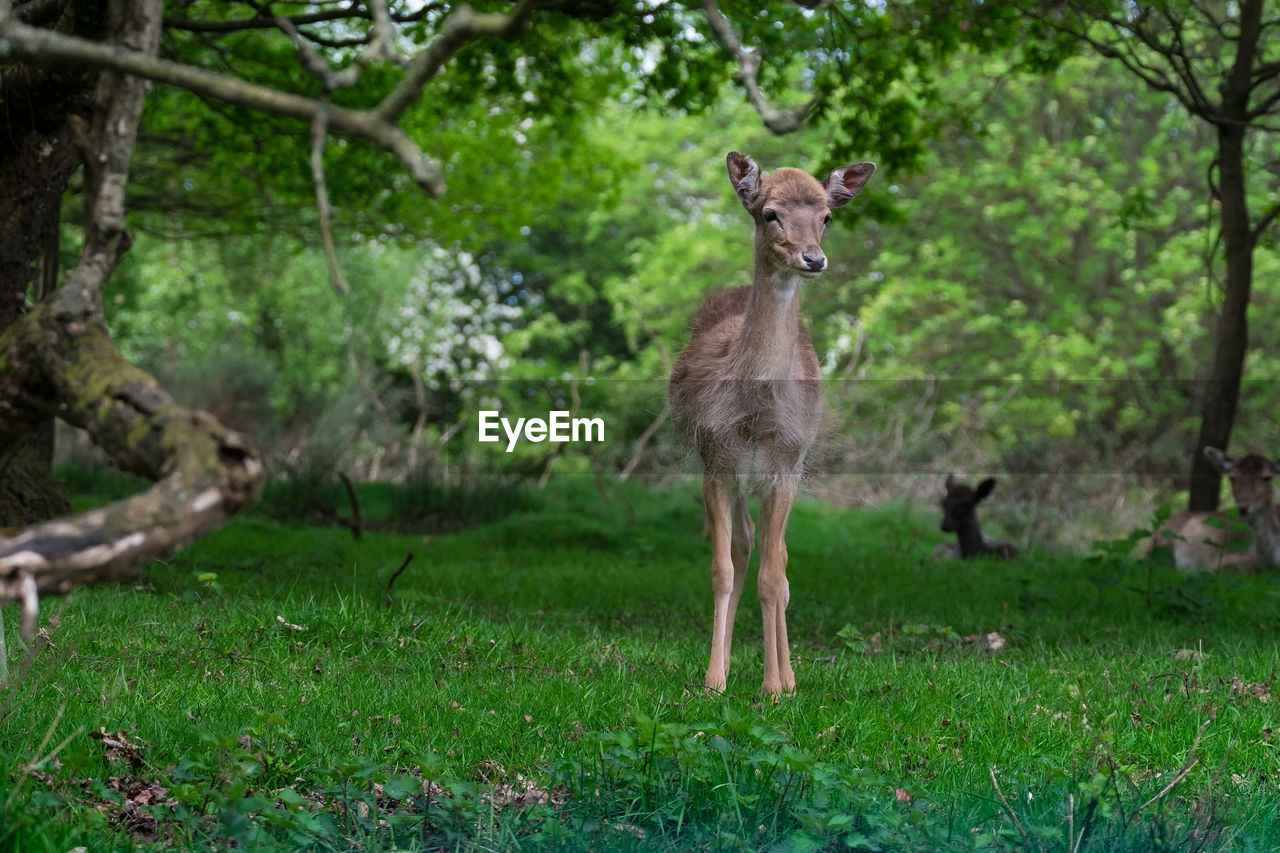 Deer Standing On Grassy Field