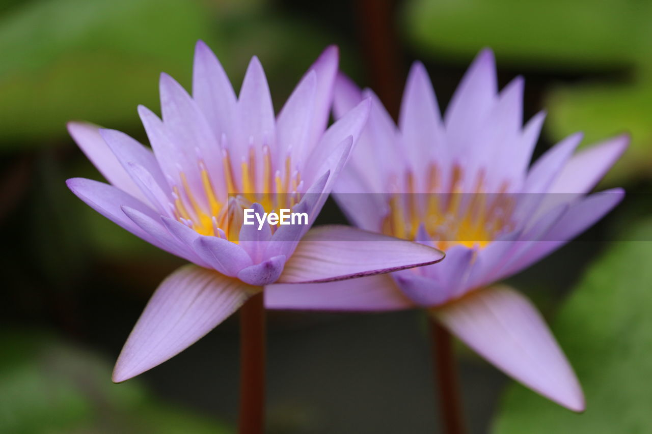 flower, petal, beauty in nature, fragility, flower head, nature, freshness, growth, close-up, focus on foreground, no people, plant, day, blooming, outdoors, lotus water lily