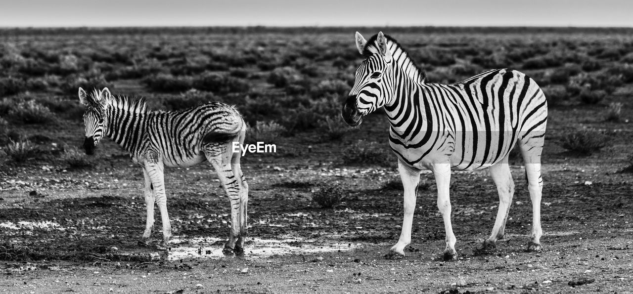 animal themes, striped, group of animals, animal, animal wildlife, mammal, animals in the wild, zebra, vertebrate, field, land, two animals, standing, safari, no people, nature, domestic animals, day, focus on foreground, herbivorous, herd