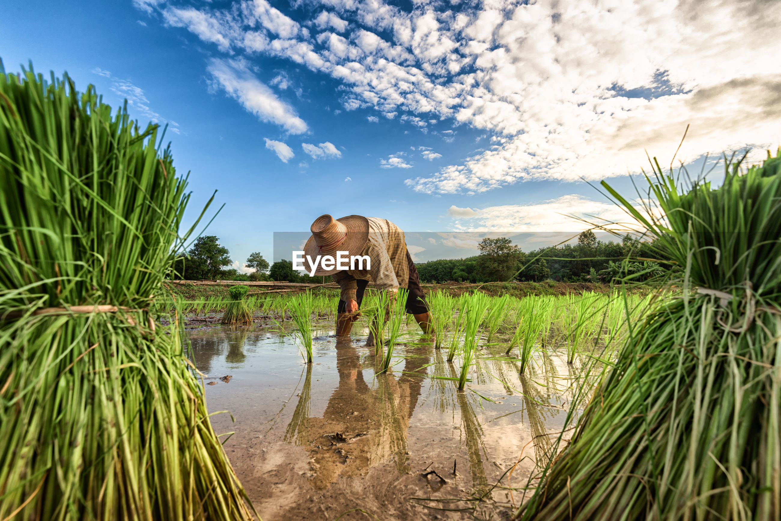 Scenic view of worker in rice field
