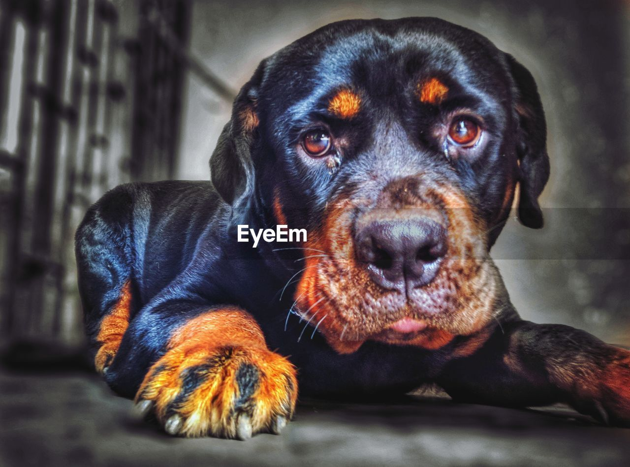 canine, dog, one animal, mammal, animal themes, animal, pets, domestic animals, domestic, vertebrate, portrait, looking at camera, rottweiler, relaxation, close-up, indoors, no people, animal body part, focus on foreground, animal head, animal eye