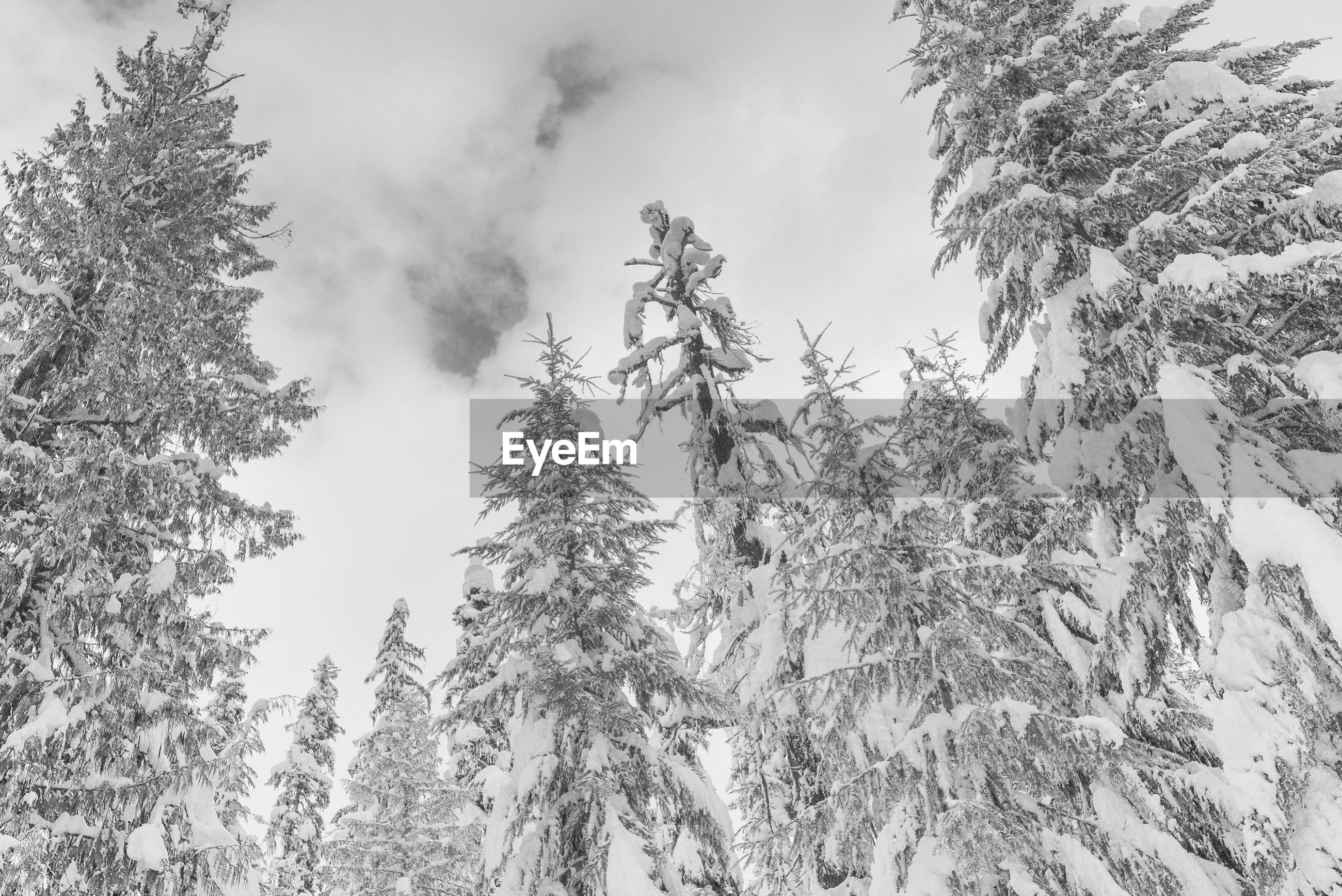 Winter pine trees covered in snow low angle looking up, black and white.
