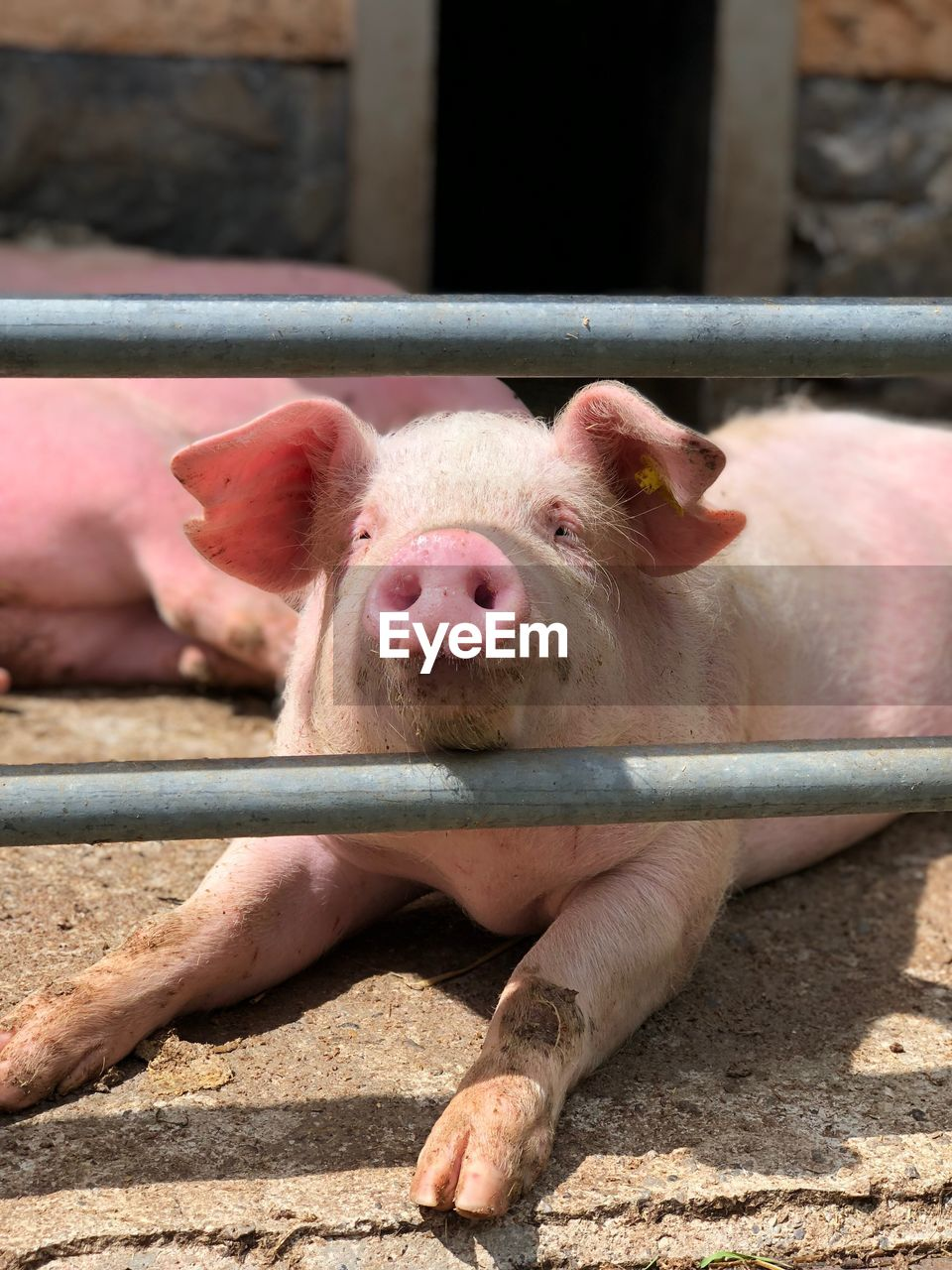 mammal, pig, animal themes, domestic animals, animal, pets, livestock, domestic, no people, day, group of animals, sunlight, vertebrate, nose, nature, focus on foreground, piglet, snout, farm, pink color, outdoors, herbivorous, animal pen, animal head