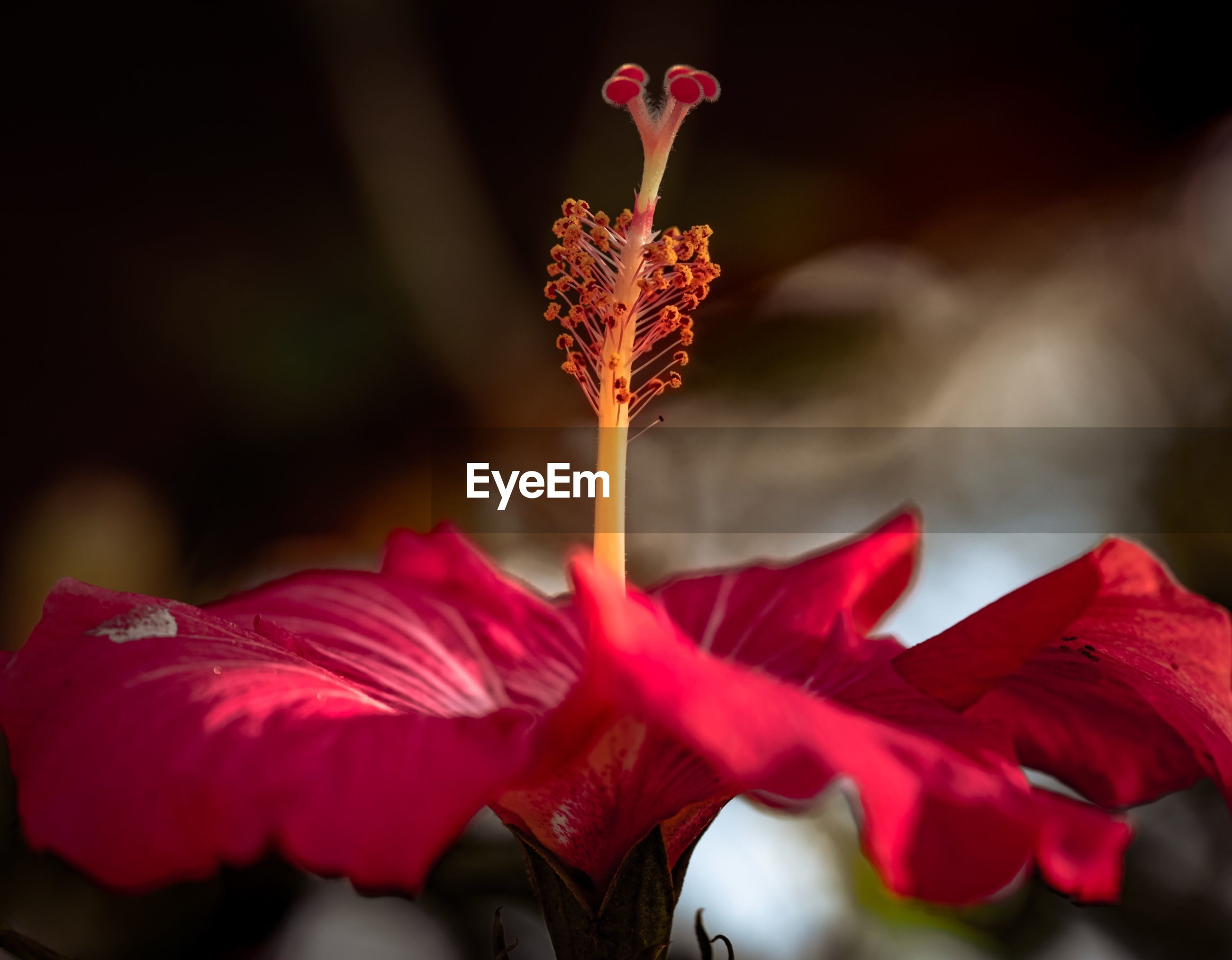 CLOSE-UP OF RED HIBISCUS AGAINST BLURRED BACKGROUND