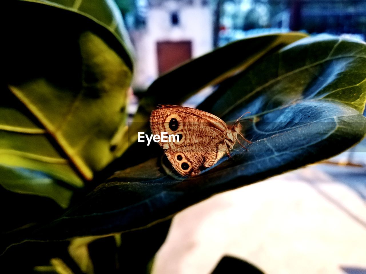 leaf, plant part, invertebrate, insect, animal, animal themes, one animal, animal wildlife, animals in the wild, close-up, butterfly - insect, animal wing, nature, day, selective focus, no people, focus on foreground, brown, outdoors, animal markings, butterfly, jeans