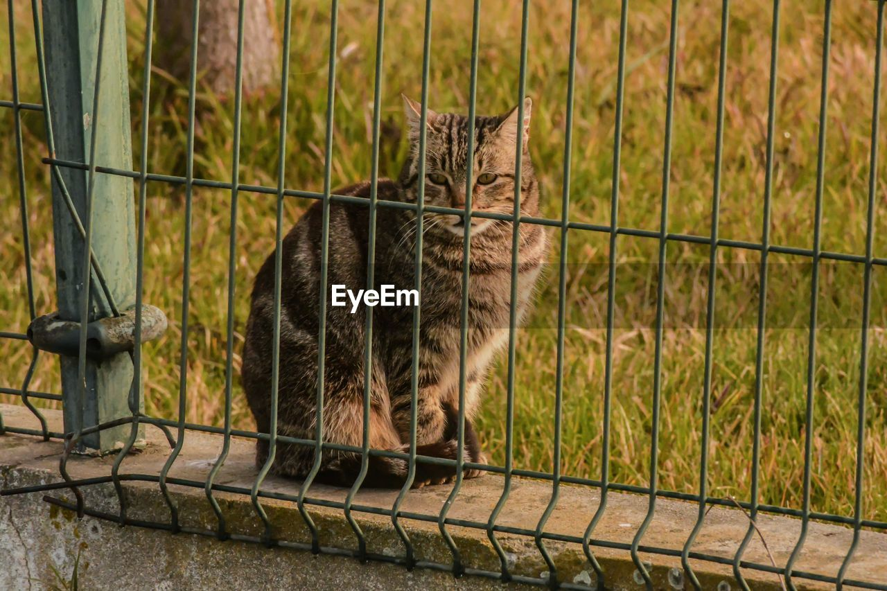 mammal, cat, domestic cat, pets, one animal, domestic, feline, domestic animals, vertebrate, no people, fence, barrier, boundary, grass, day, whisker, full length, tabby