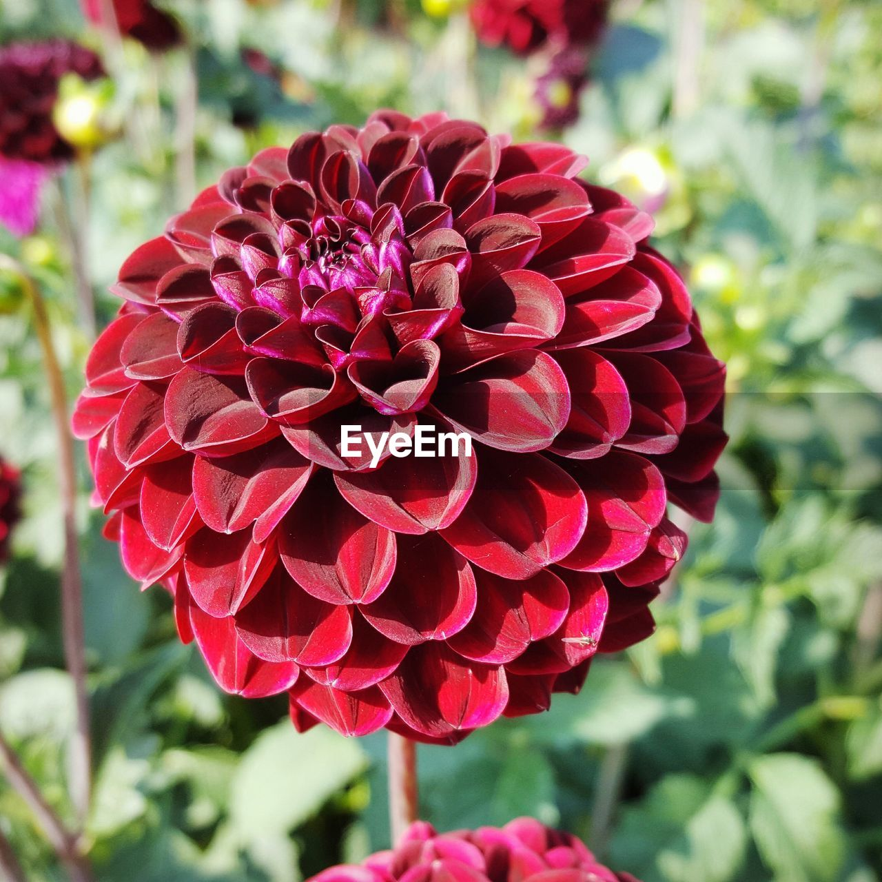 flower, beauty in nature, petal, fragility, nature, focus on foreground, growth, flower head, freshness, blooming, red, day, plant, close-up, no people, outdoors, dahlia, zinnia