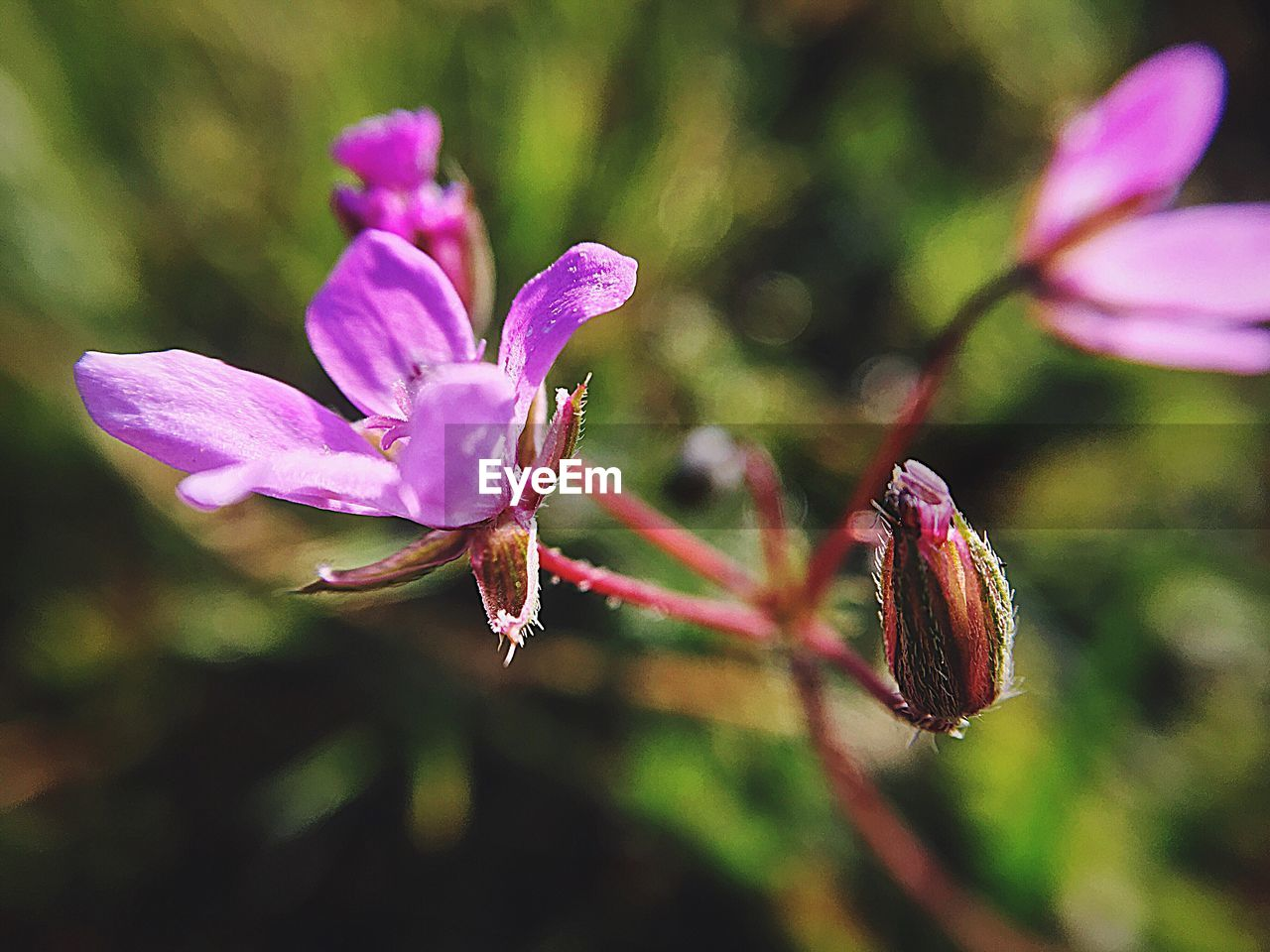 flower, flowering plant, plant, vulnerability, beauty in nature, fragility, freshness, growth, petal, close-up, pink color, flower head, inflorescence, focus on foreground, nature, no people, purple, day, selective focus, pollen, outdoors, springtime, pollination