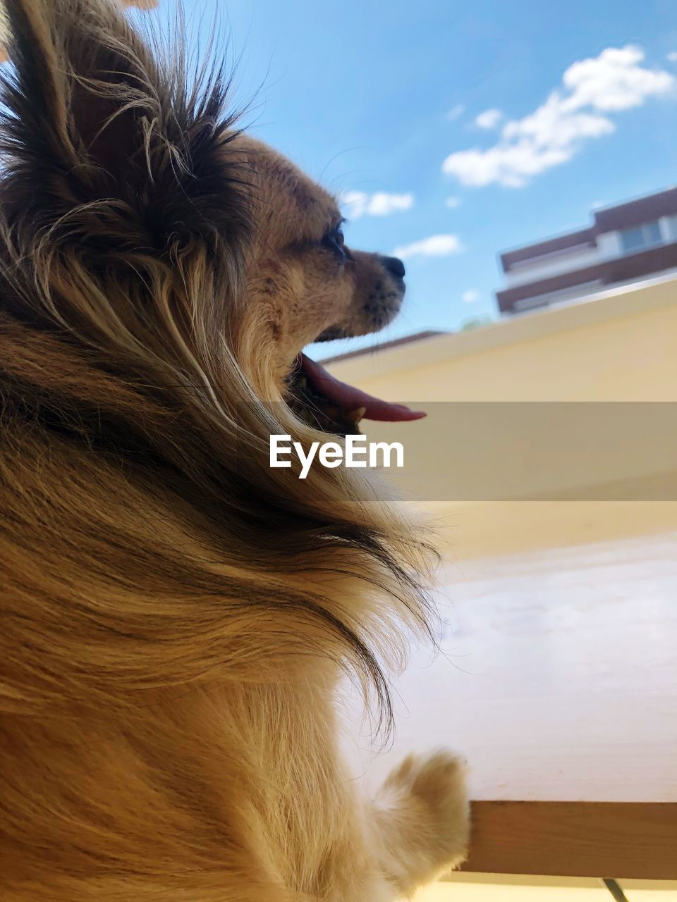 one animal, animal themes, mammal, animal, domestic, pets, canine, dog, domestic animals, hair, vertebrate, close-up, sky, looking, animal hair, looking away, no people, animal body part, facial expression, day, mouth open, animal head